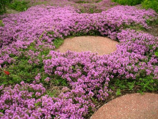 Pink Creeping Thyme