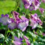 "Penstemon ""Alice Hindley"""