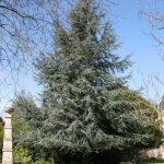 Cedrus 'Blue Atlas Cedar' @ Hello Hello Plants