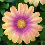 "African Daisy ""Blushing Beauty"""