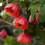 "Abutilon ""Red Tiger"""