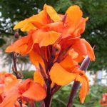 "Canna Lily ""Wyoming"""