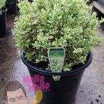 English Box Variegated 10inch pot