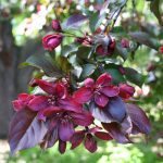 "Crab Apple ""Crimson Knight"""
