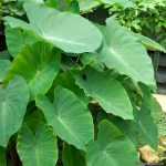 "Colocasia ""Elephant's Ears"""