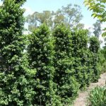 "Syzygium ""Straight and Narrow"""