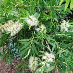 "Callistemon ""Wilderness White"""