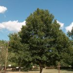 "Quercus ""Sawtooth Oak"""