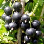 "Ribes Nigrum ""Black Currant"" Tree"