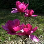 "Magnolia ""Royal Purple"""