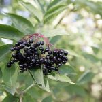"Sambucus ""Elderberry"""