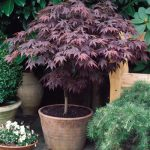 "Japanese Maple ""Heartbeat"""