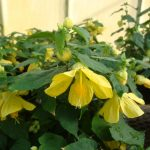 "Abutilon ""Lucky Lantern Yellow"""