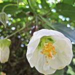 "Boule De Neige ""Indian Mallow"""