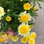 Argyranthemum frutescens flower Marguerite Daisy Yellow In Store @ Hello Hello Plants