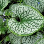 "Brunnera ""Sea Heart"""