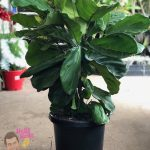"Fiddle Leaf Fig 12"" Pot"