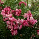 "Grevillea ""Woolly Bear Hero"""