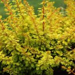 "Japanese Barberry ""Golden Glow"""