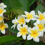 Assorted Tropical Frangipani