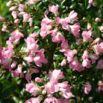 "Escallonia ""Apple Blossom"""