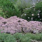 "Sedum ""Pure Joy"""