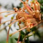 "Grevillea ""Carpet Queen"""