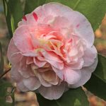 "Camellia ""Strawberry Blonde"""