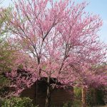 "Chinese Redbud ""Flame"""