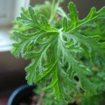 "Pelargonium Lemon Scented ""Mozzie Plant"""