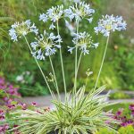 "Agapanthus ""Tinkerbell"""