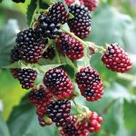 Rubs Fruiting Boysenberry