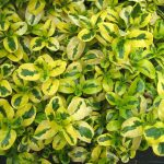 "Coprosma ""Green & Gold"""