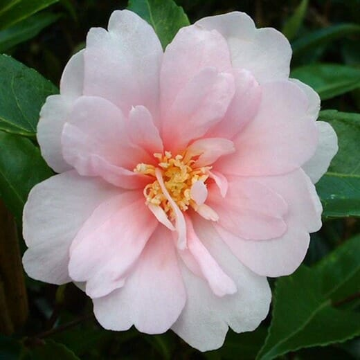 "Camellia ""Jean May"""