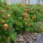 "Banksia ""Coastal Cushion"""
