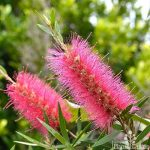 "Callistemon ""Sugar Candy"""