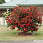 "Corymbia ""Mini Red"""