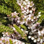 "Leptospermum ""Mozzie Blocker"""
