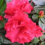 "Azalea ""Super Red"""