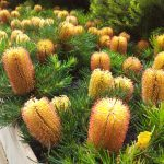 "Banksia ""Birthday Candles"""