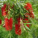"Callistemon ""Four Seasons"""