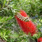 "Callistemon ""Willow Bottlebrush Red"""
