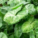 "Syngonium ""Lemon-Lime"""