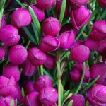 "Boronia ""Plum Bells"""