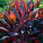 "Cordyline ""Ruby"""