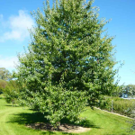 Everscreen Ornamental Pear
