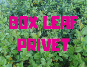 Box Leaf Privet