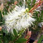 "Callistemon ""Clearview White"""