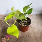 "Epipremnum ""Golden Pothos"" 5"" Pot"