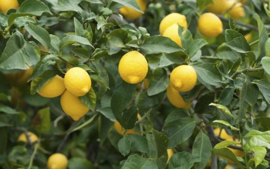 "Citrus Limon ""Dwarf Lemonade"" @ Hello Hello Plants"
